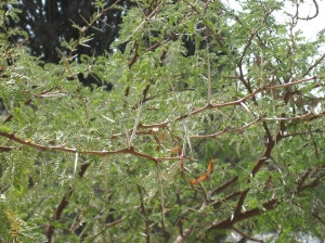 A thornbush on the Mount of Olives, Israel.